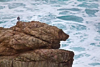 Seagull on rock 2