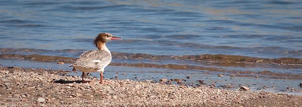 Common Merganser Blue Mesa Reservoir