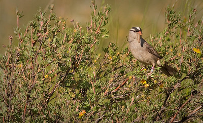 White-crowned Sparrow with prey Gothic Road