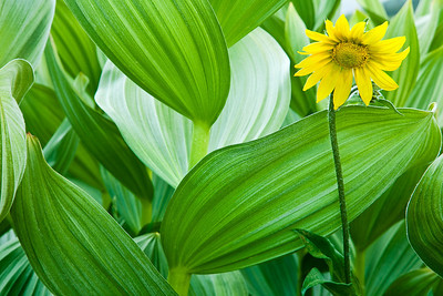 Mule Ear and Corn Lillies