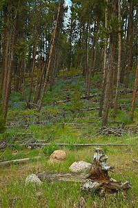 Lupines on Cottonwood Pass