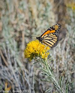 1422 Monarch Butterfly