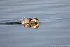 6910 Eared Grebe catching alkali fly