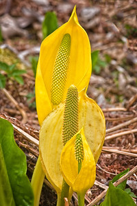 Skunk Cabbage Trio Olympic National Park April 16, 2009