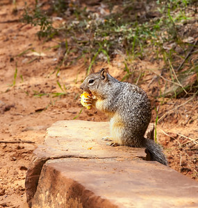 Rock Squirrel eating apple Viewed from Riverside Walk, Zion National Park Springdale, Utah  October 15, 2012
