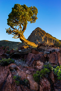 JUNIPER TREE VIRGINIA RANGE PYRAMID LAKE