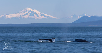 Two Whales at Mount Baker