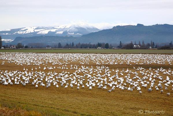 """""""Geese Field"""""""