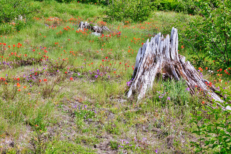 Dead Trees and Summer Flowers - Mt. St. Helens National Volcanic Monument, WA