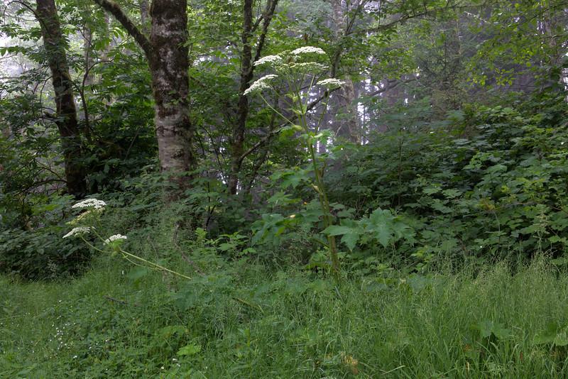 Cow Parsnip and Tree At Natural Bridges - Samuel H. Boardman State Scenic Corridor, OR