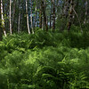 Bed Of Ferns Along Hummocks Trail - Mt. St. Helens National Volcanic Monument