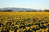 """Endless Daffodils"""