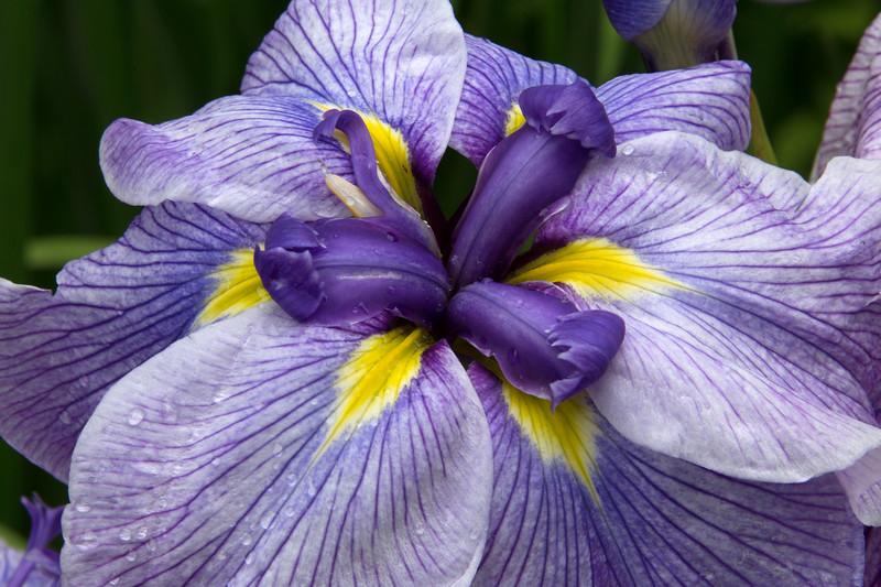 Iris Close Up - Portland Japanese Garden, OR