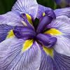 Iris Close Up - Portland Japanese Garden, OR