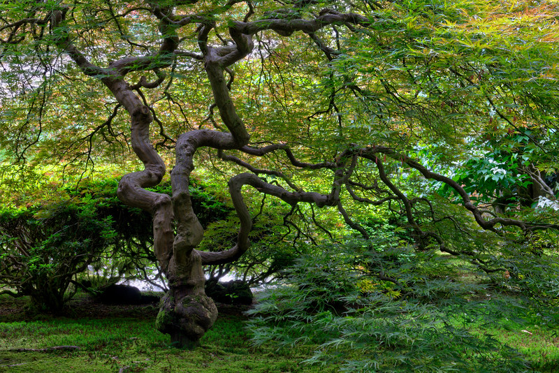 Twisted Branches - Portland Japanese Garden, OR