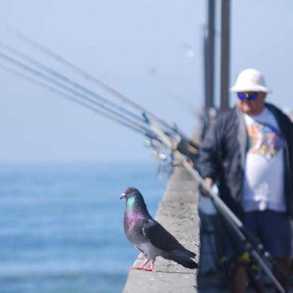 DSC_7315-sq pigeon