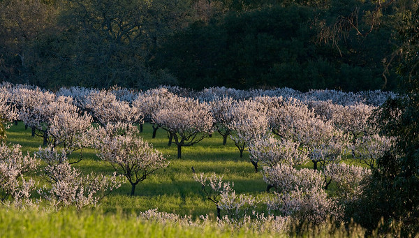 Packard Apricot Orchard - March 2008