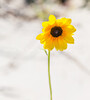 32.  Sunflower In The Sunshine