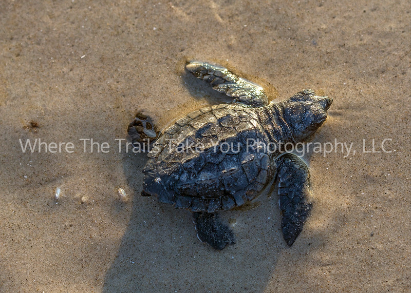 40.  Kemp's ridley sea turtle hatchling