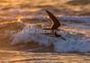 23.  Sun-Gilded Skimmer