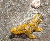 5. Sargassum Nudibranch