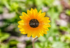 34.  Common Sunflower