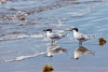 24.  A Couple Of Sandwich Terns