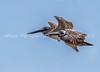 29.  Pterodactyls, or Brown Pelicans In Flight?