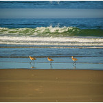 3-Birds-Pajaro-Dunes-Sandpiper-California-Coastline-DSC_6904 PRINT 12x18v2 WRAP final
