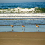 Three in a row.  Birds along the shore at Pajaro Dunes, California.