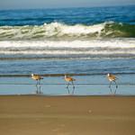 Three in a row.  Birds along the shore at Pajaro Dunes, California.