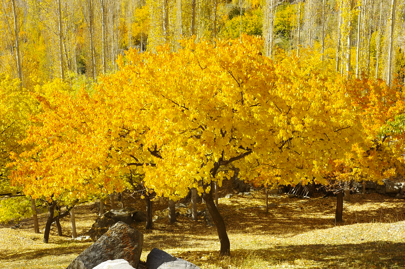 Apricot trees in fall - a new dimension of light