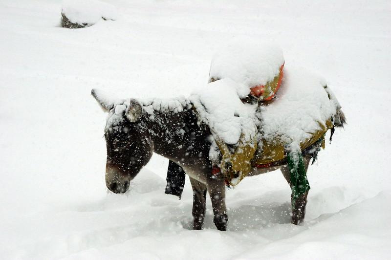 Donkeys at Nanga Parbat, freezing to death
