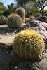 Barrel Cactus in the Living Desert Park.