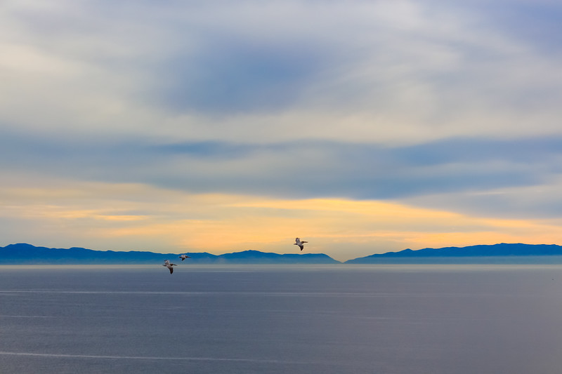 Pelicans over Catalina