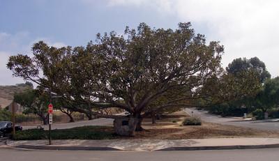 Great tree on Palos Verdes Drive West