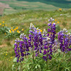 Spring flowers from the hillside of Steptoe Butte.