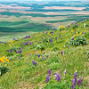 Hillside of flowers on Steptoe Butte.