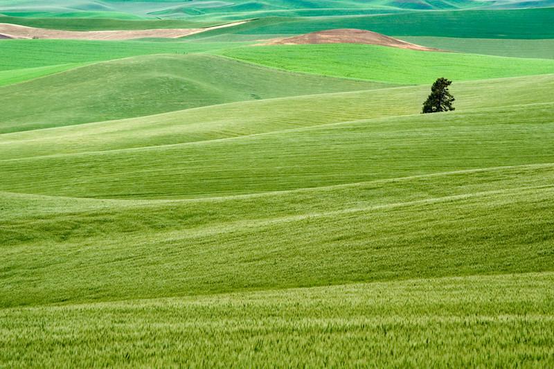 Harvesting wheat in the Palouse region of Washington