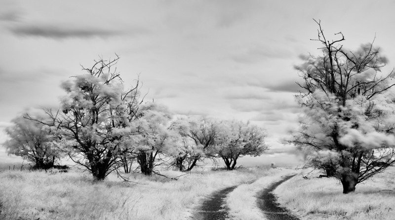 05-2013 Palouse Windy Trees Infrared