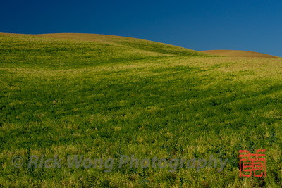 Lentil fields in the Palouse