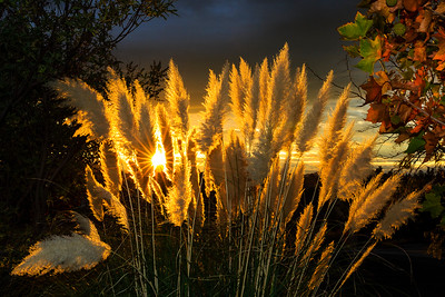 Pampas Grass Sunrise-5