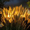 Pampas Grass Sunrise-5