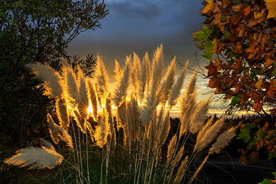 Pampas Grass Sunrise-3