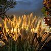 Pampas Grass Sunrise-3