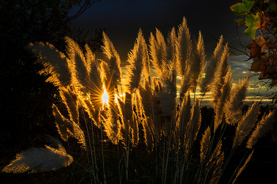 Pampas Grass Sunrise-6