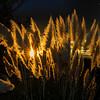 Pampas Grass Sunrise-6