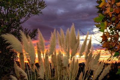 Pampas Grass Sunrise-1