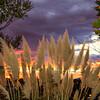 Pampas Grass Sunrise-1