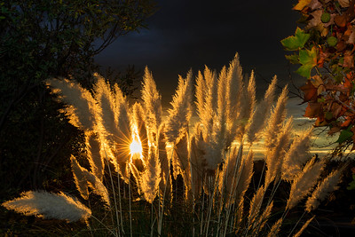 Pampas Grass Sunrise-7